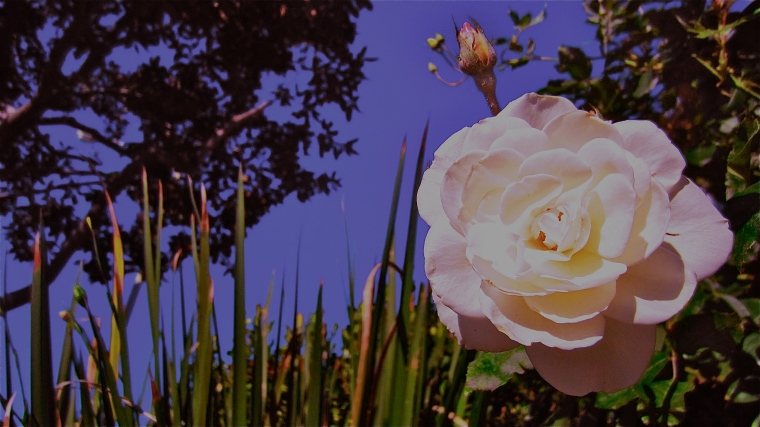 White Rose Turns Pastel Purple