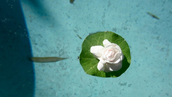 Random flower floats to me in the pool