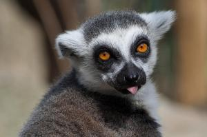 1-ring-tailed-lemur-julie-l-hoddinott