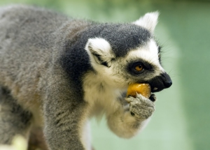 Ring-Tailed_Lemur_eating