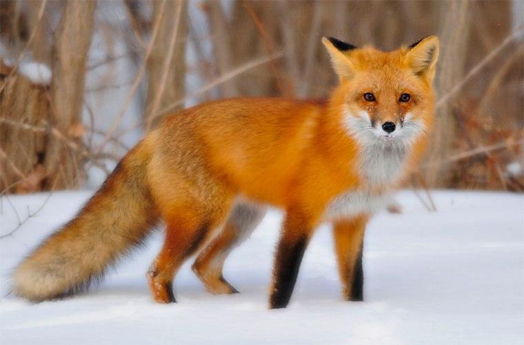 fox-03